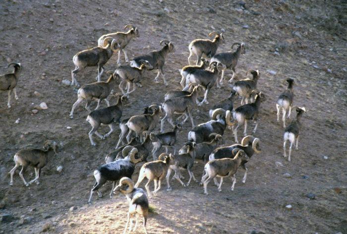 Распространение алтайского барана
