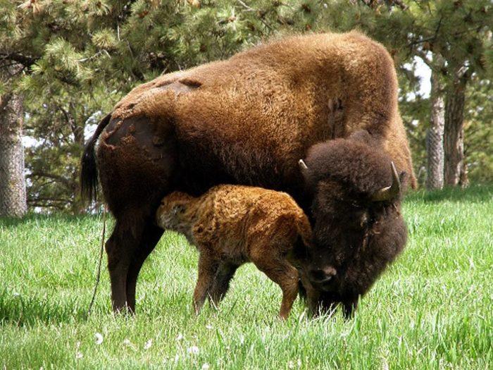 Размножение бизона