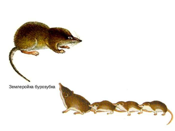 Размножение бурозубки