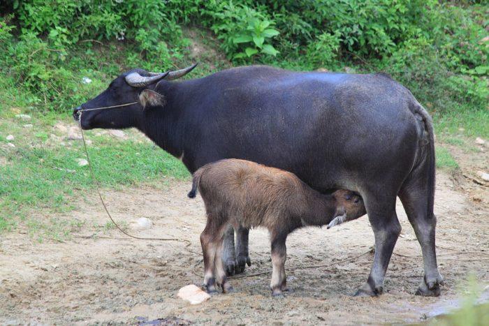 Размножение буйвола индийского