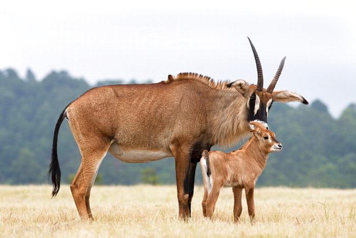 Размножение лошадиной антилопы