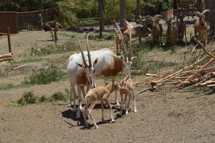 Размножение саблерогой антилопы