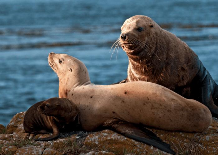 Размножение северного морского льва