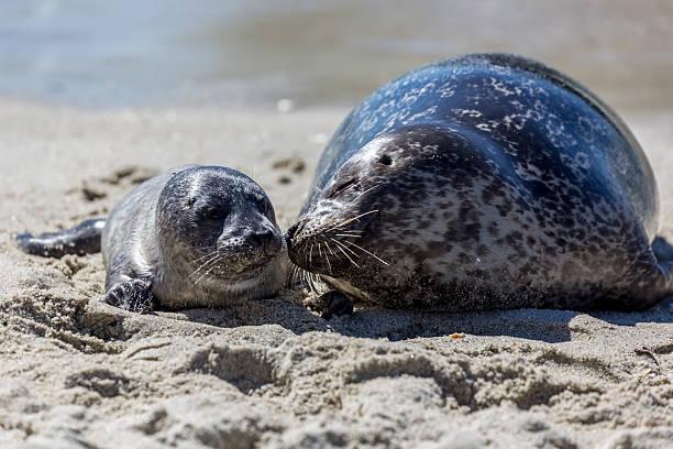 Размножение тюленя обыкновенного