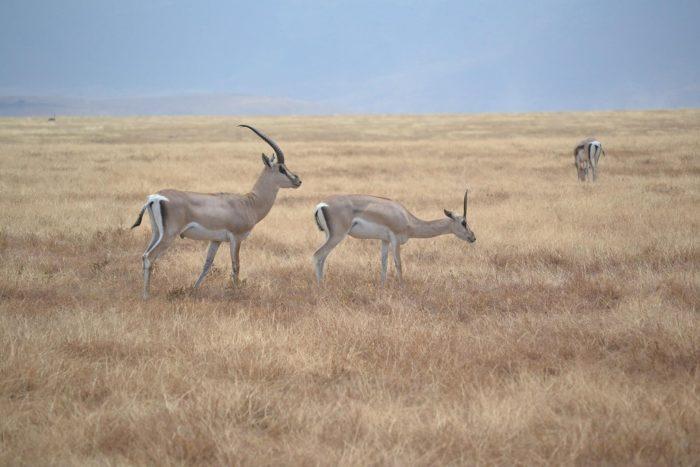 Самец и самка газели Гранта: основные отличия