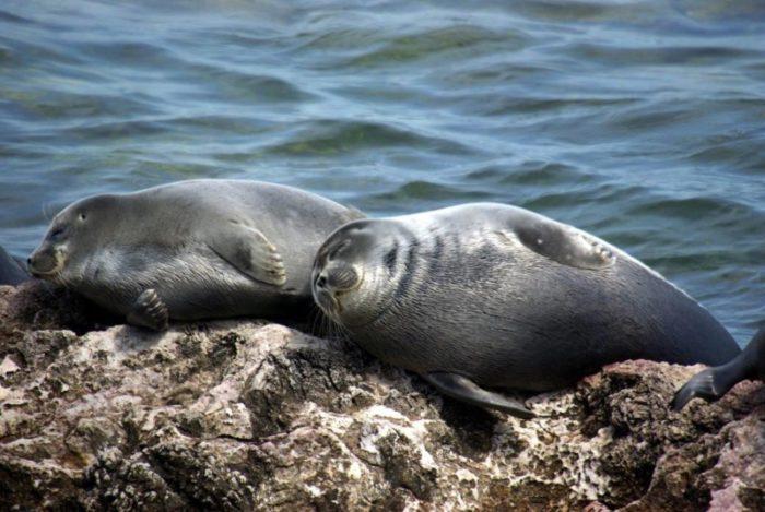 Самец и самка байкальской нерпы: основные отличия