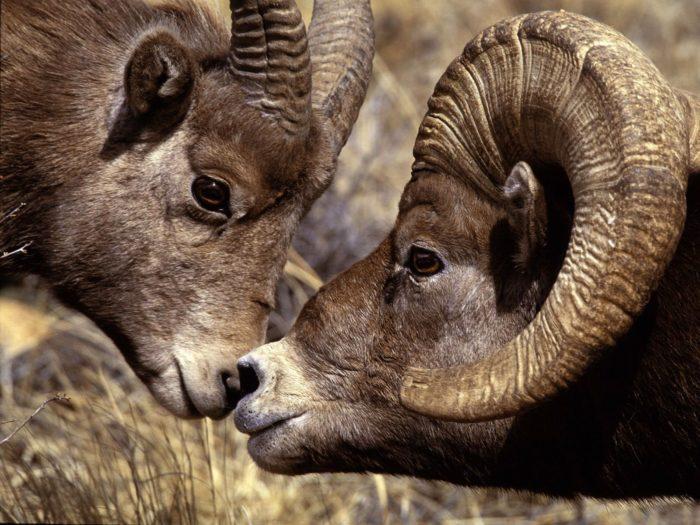 Самец и самка горного барана: основные отличия