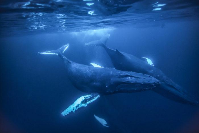 Самец и самка синего кита: основные отличия