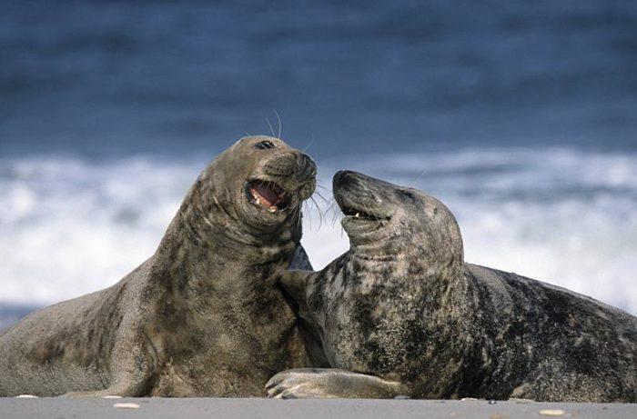 Самец и самка тюленя обыкновенного: основные отличия