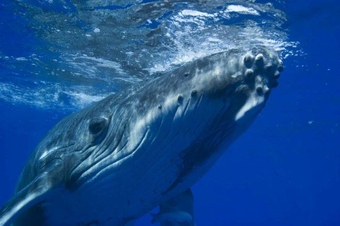 Синий кит, фото, описание, размер, вес