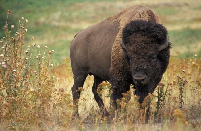 Степной бизон