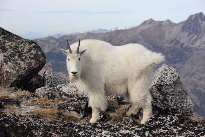 тибетский горный баран