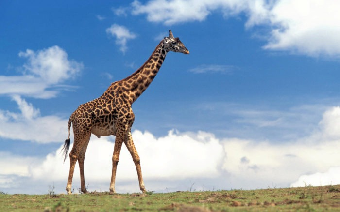 Жираф (Giraffa camelopardalis) фото