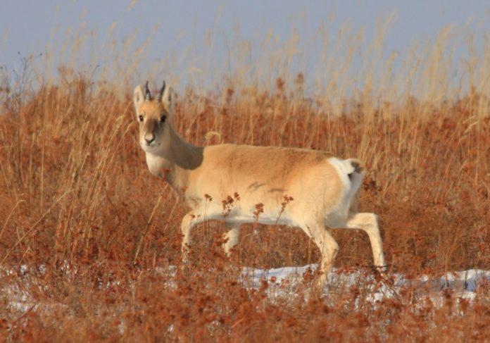 Дзерен монгольский фото