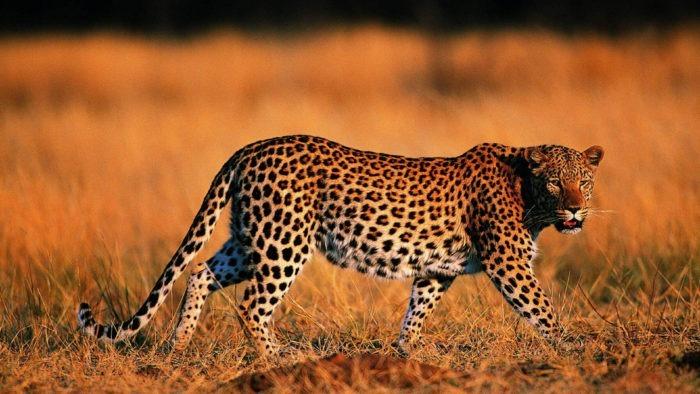 Естественные враги жирафа
