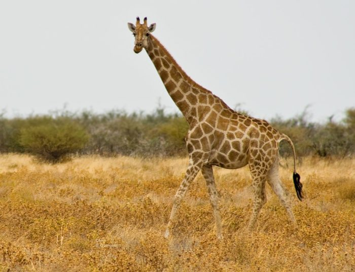 Жираф кордофан