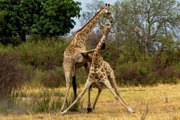 Интересные факты о жирафе