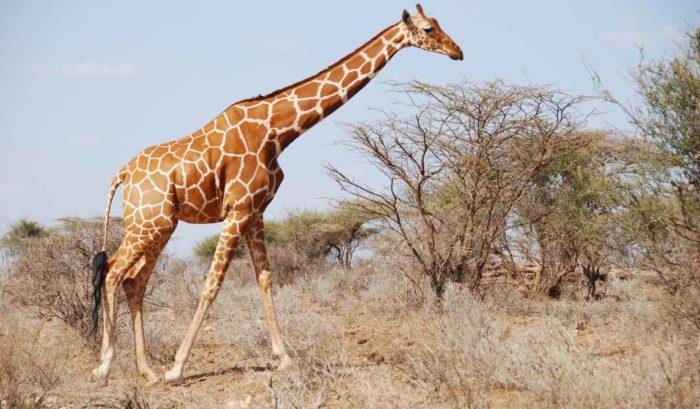 Описание жирафа