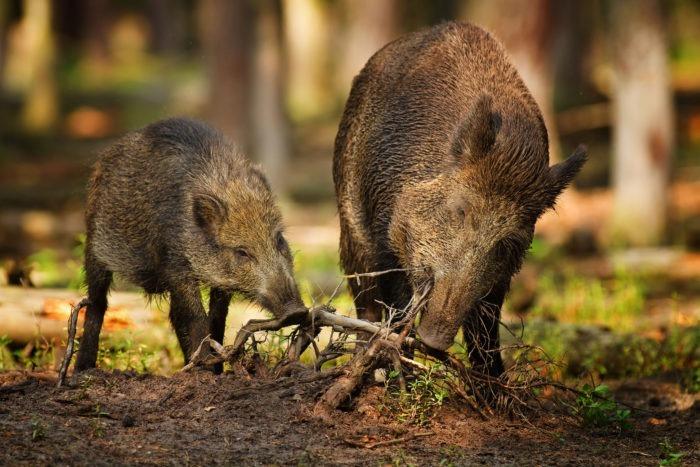 Особенности питания дикого кабана