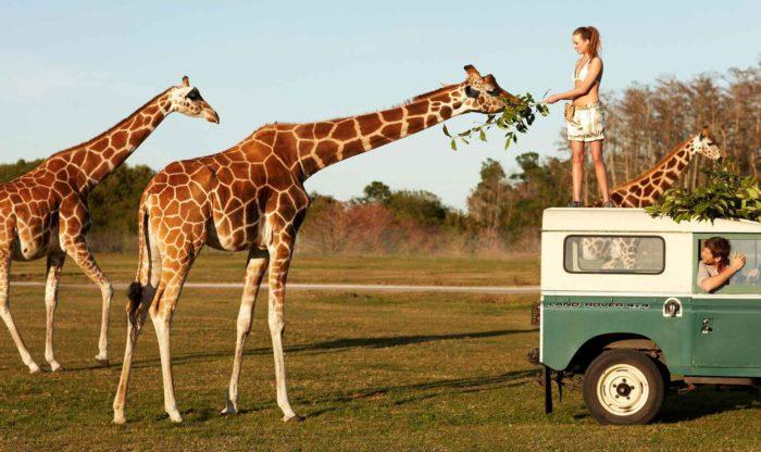 Особенности питания жирафа