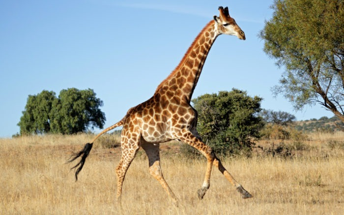 Поведение жирафа