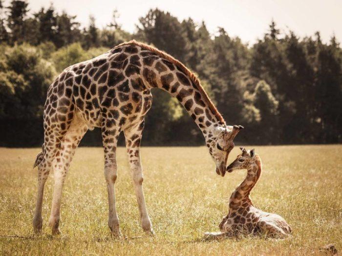 Размножение жирафа