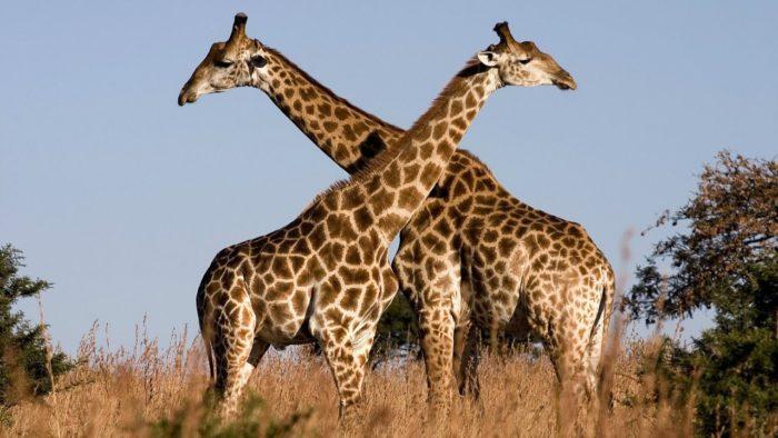 Самец и самка жирафа: основные отличия