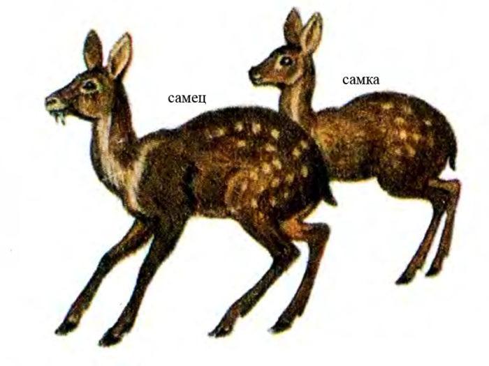 Самец и самка кабарги: основные отличия