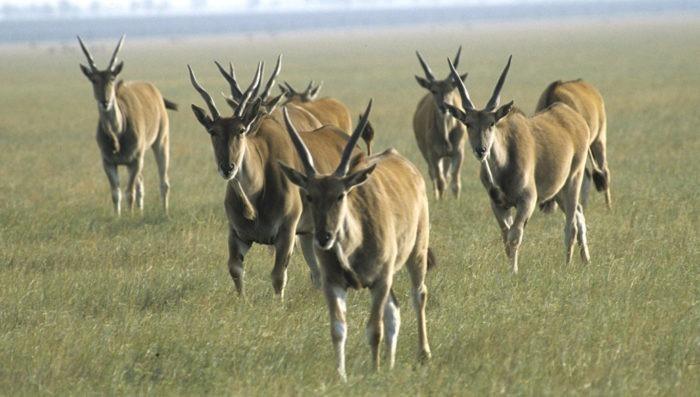 Самец и самка дзерена монгольского: основные отличия