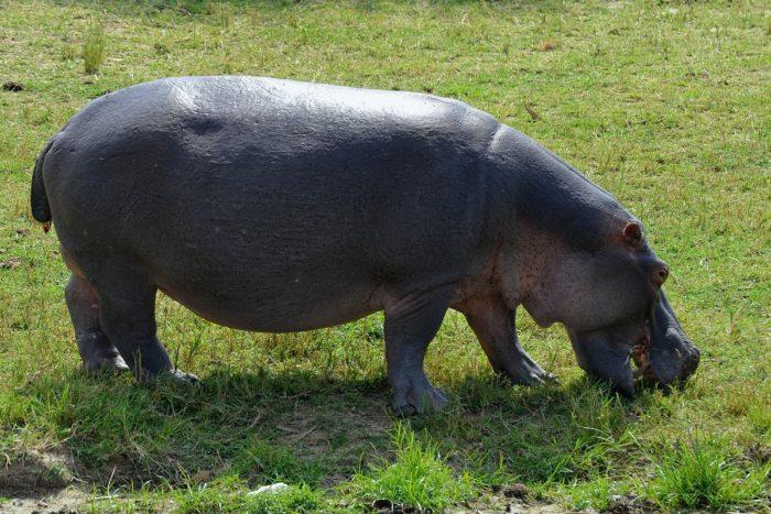 Hippopotamus amphibius amphibius