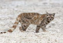 Андская кошка (Leopardus jacobitus) фото