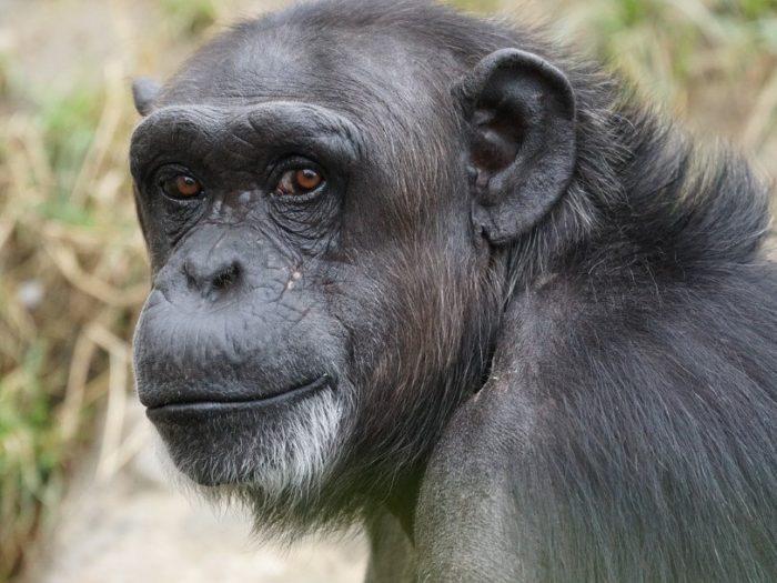 Черномордый шимпанзе (Pan troglodytes troglodytes)