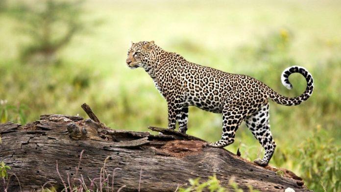 Дальневосточный леопард (Panthera pardus orientalis) фото