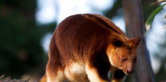 Древесный кенгуру (Dendrolagus) фото