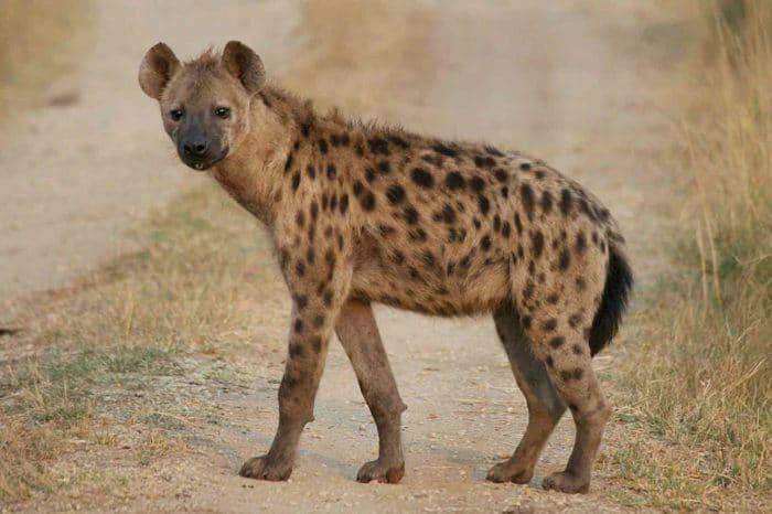 Естественные враги бурой гиены