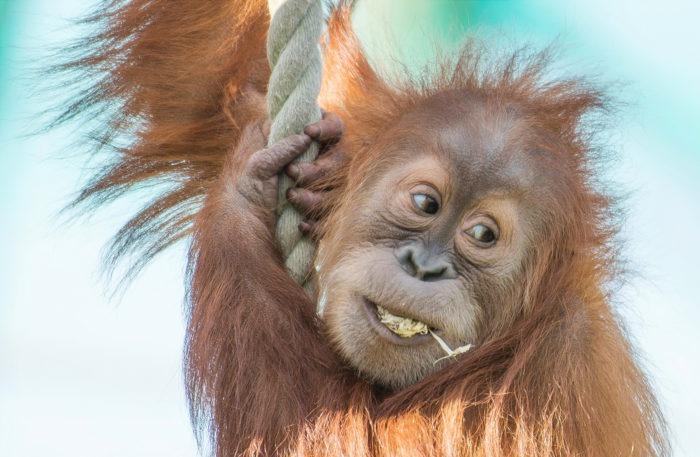 Естественные враги орангутана