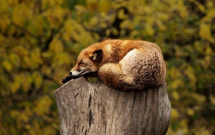 Естественные враги рыжей лисицы