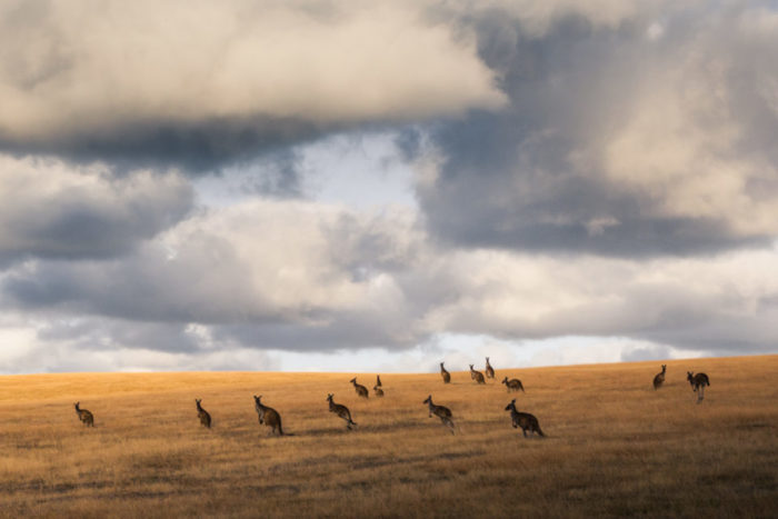 Естественные враги большого серого кенгуру