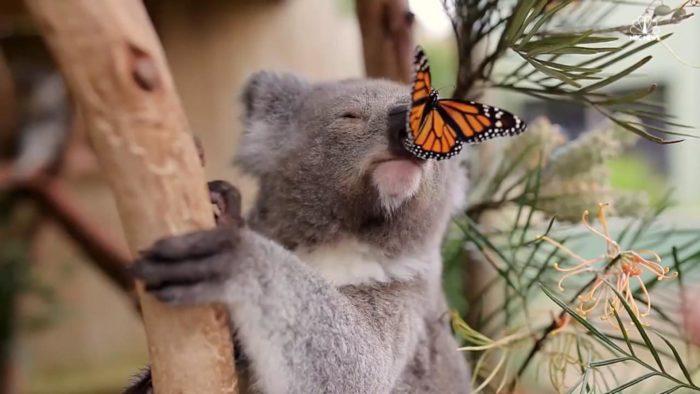 Естественные враги коалы