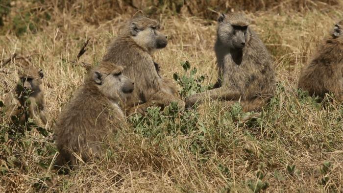 Интересные факты о бабуине