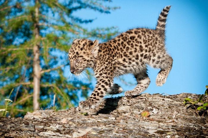 Интересные факты о дальневосточном леопарде