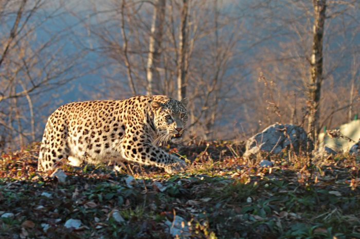 Интересные факты о переднеазиатском леопарде