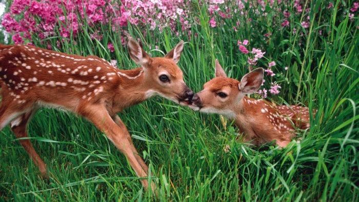 Интересные факты о пятнистом олене