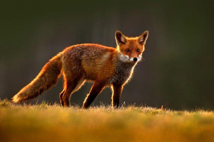 Интересные факты о рыжей лисице
