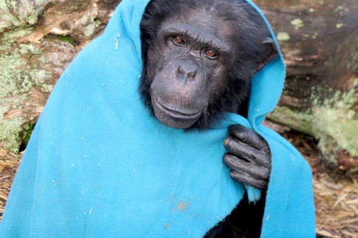 Интересные факты о шимпанзе