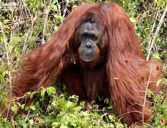Интересные факты об орангутане