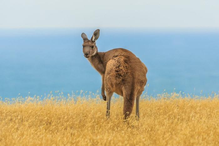 Интересные факты о большом сером кенгуру