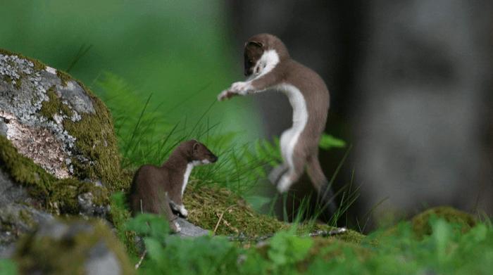 Интересные факты о горностае