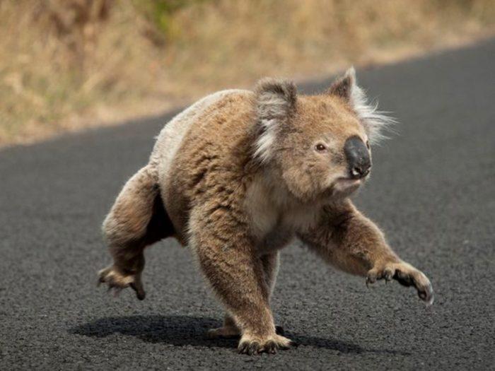 Интересные факты о коале