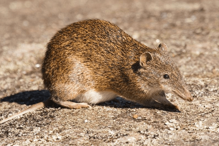 Малый бандикут (Isoodon obesulus)